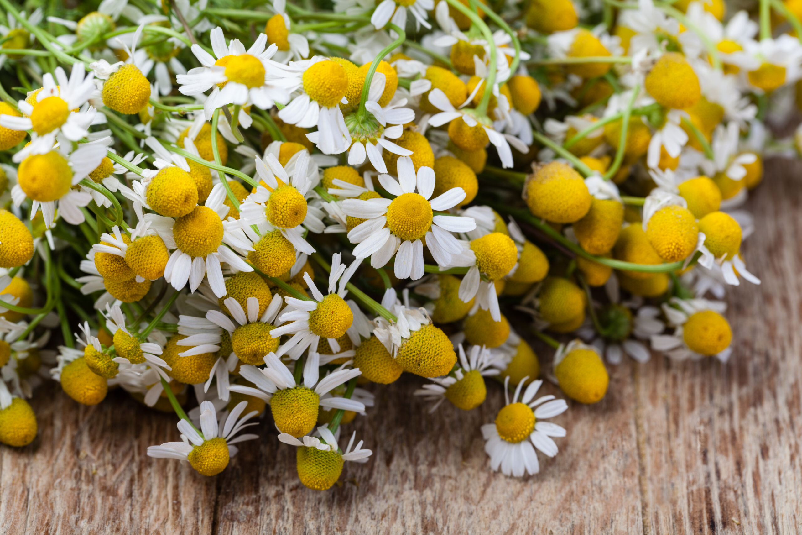 Chamomile And Its Healing Properties